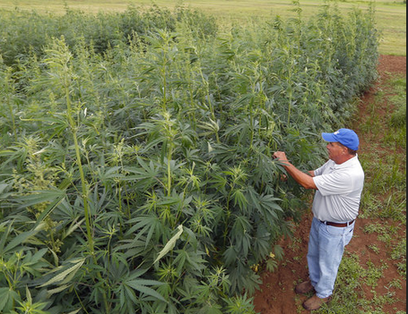 Kentucky's first industrial hemp crop in decades shows promise for future production